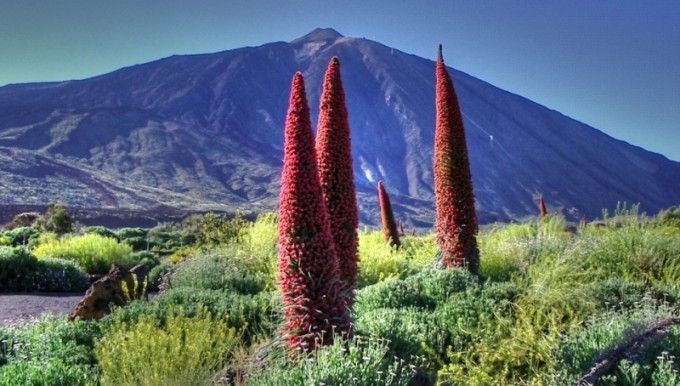Fuente: ##http://ca.wikipedia.org/wiki/Fitxer:Echium_Wildpretii_at_The_Teide.jpg##Dorian Cols##