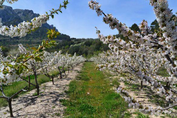 Un valle simétrico entre cerezos