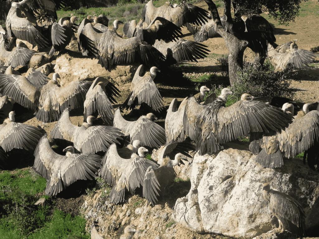 Buitres salvajes