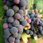 Uvas de tinto