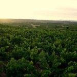 Campos de viñas