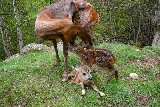 Ciervos en el MónNatura Pirineus