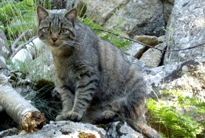 Gato montés en el MónNatura Pirineus