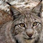 Linces en el MónNatura Pirineus