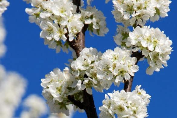 20 casas rurales para ver el cerezo en flor del Jerte