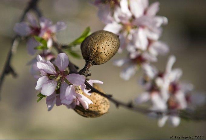 Cerezos en flor de la Vall de Gallinera