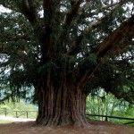 El árbol que crece de arriba abajo