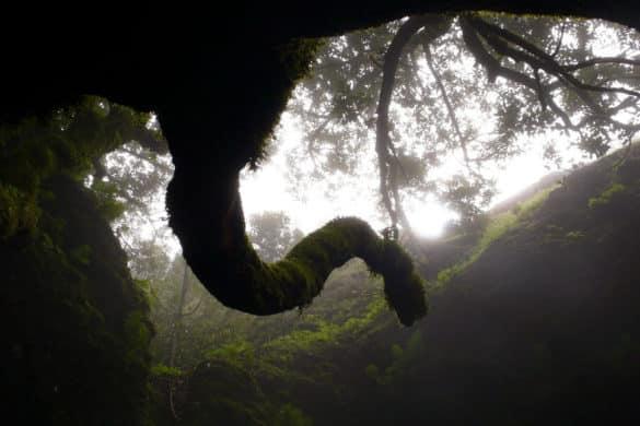 El árbol sagrado de los indígenas de El Hierro
