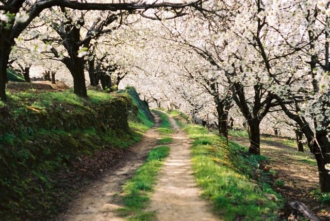 Fuente: ##http://commons.wikimedia.org/wiki/File:Camino_entre_el_bosque_de_cerezos_en_flor.jpg##Victor Estrada Diaz##
