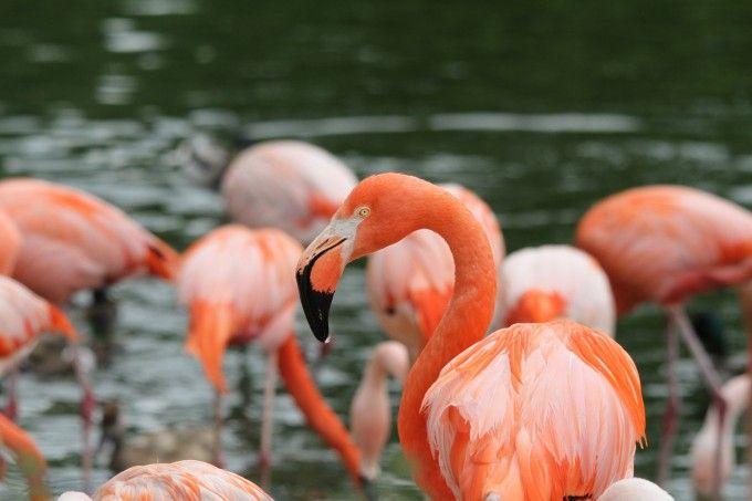 Fuente: ##http://pixabay.com/es/flamencos-las-aves-rosa-aves-989142/##heinzseligenstadt##