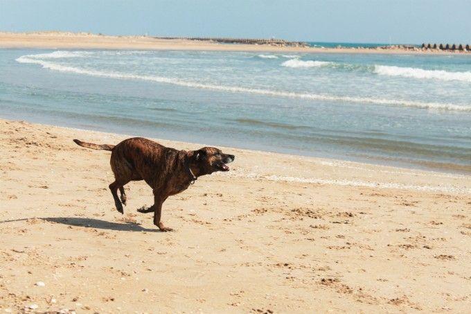 Mi perra Noa pasándolo pipa en la playa de Cubelles :)