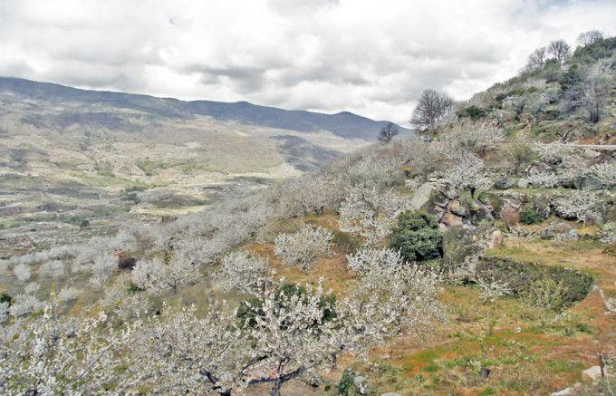 Cerezos en flor del Valle del Jerte