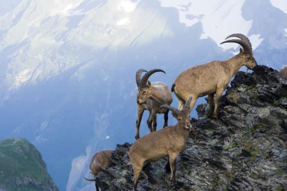 ¿Por qué las cabras desafían a la muerte en los acantilados?