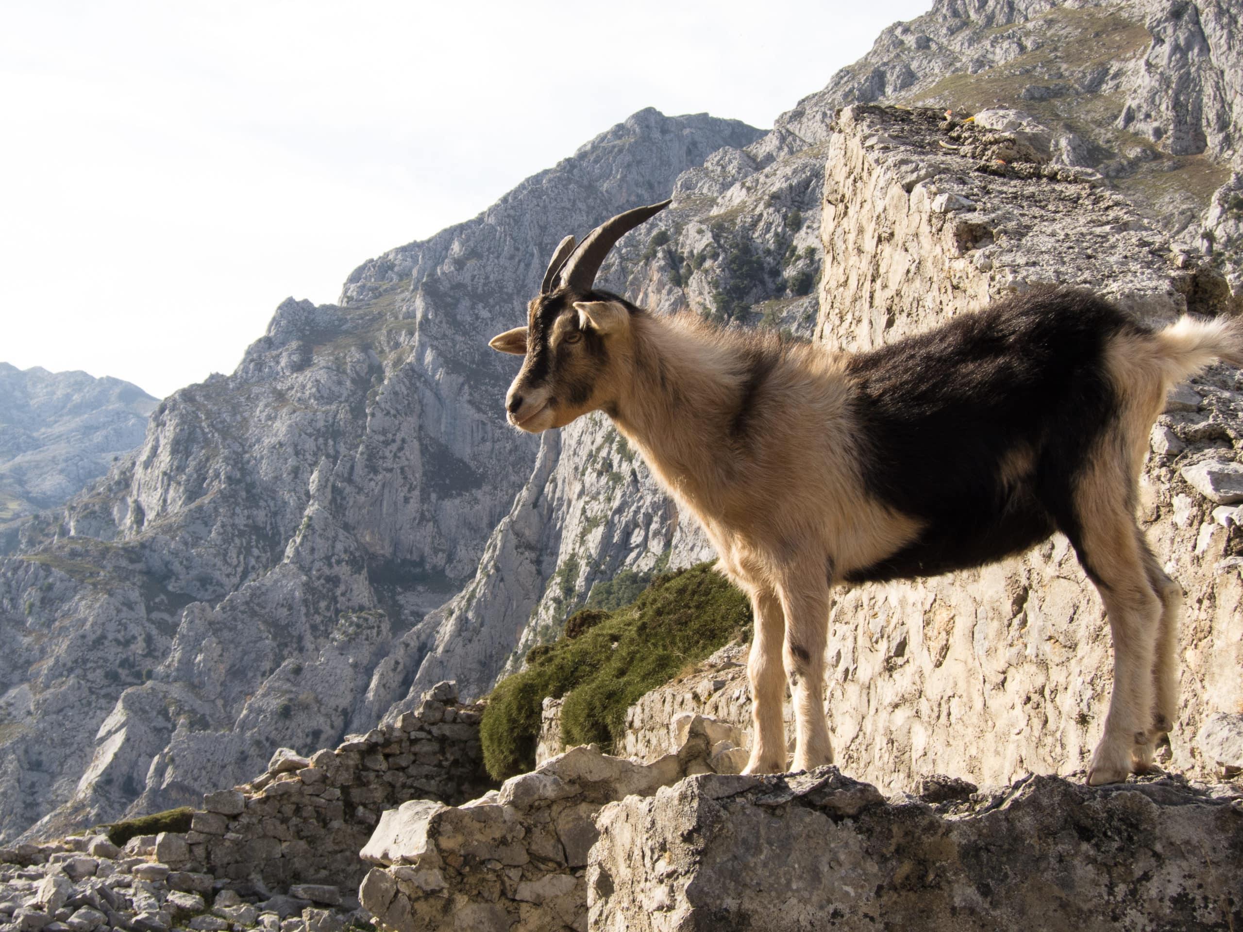 cabras en España