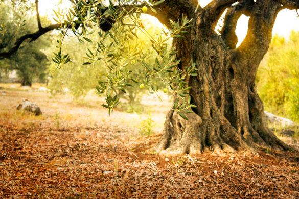 La ruta de los olivos milenarios