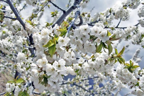 Cuándo ver los cerezos en flor del Valle del Jerte
