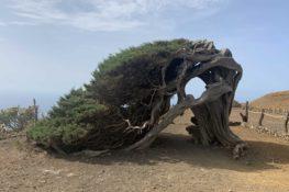 El Sabinar de El Hierro, esculturas vegetales moldeadas por los vientos alisios canarios