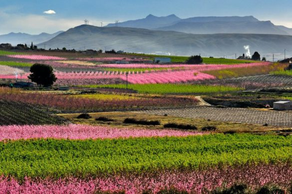 8 imágenes para enamorarte de la Floración de Cieza