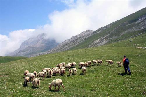 Ovejas, cabras y el Quebrantahuesos