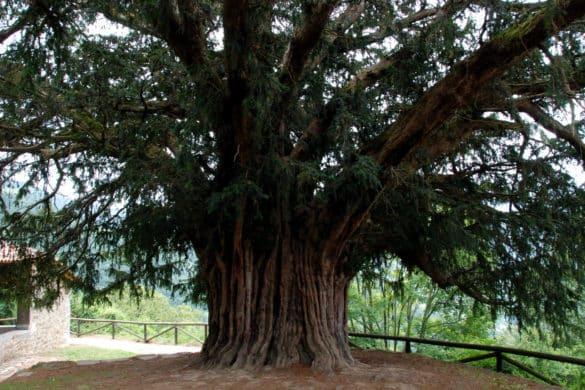 El tejo, un árbol fascinante que crece de arriba abajo