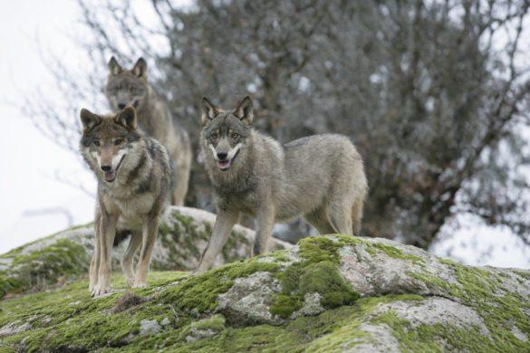 Sierra de la Culebra, tierra de lobos