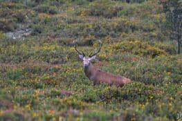 Autovisitas a la Berrea del venado en la Sierra de Peñamayor