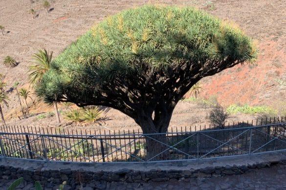 El Drago de Agalán, un símbolo de La Gomera