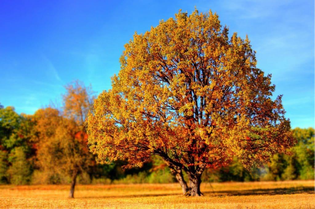 tree, fall, fall colors