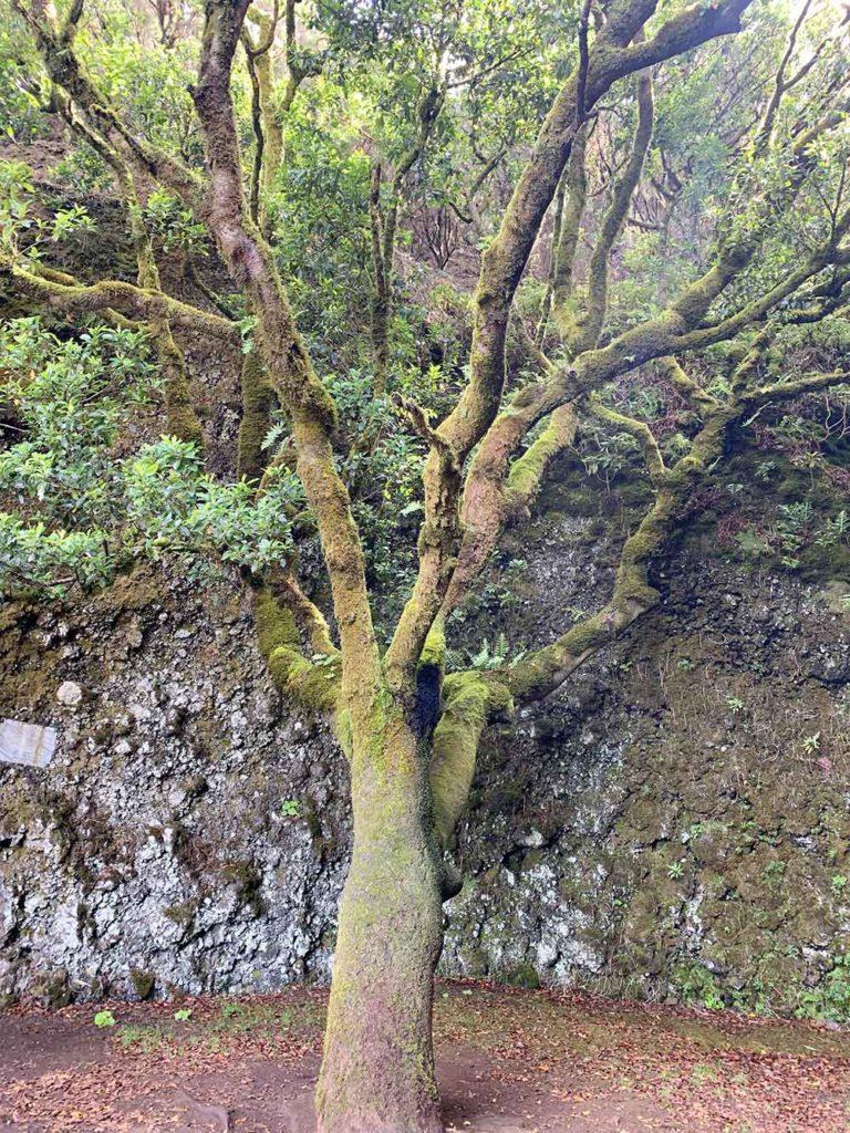Árbol Garoé de El Hierro