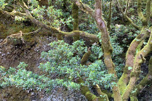 Garoé, el árbol sagrado de El Hierro