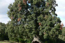 El encino de las tres patas de Mendaza, entre los 10 árboles europeos del 2020