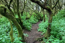 Ruta de senderismo de La Llanía, el corazón verde de El Hierro
