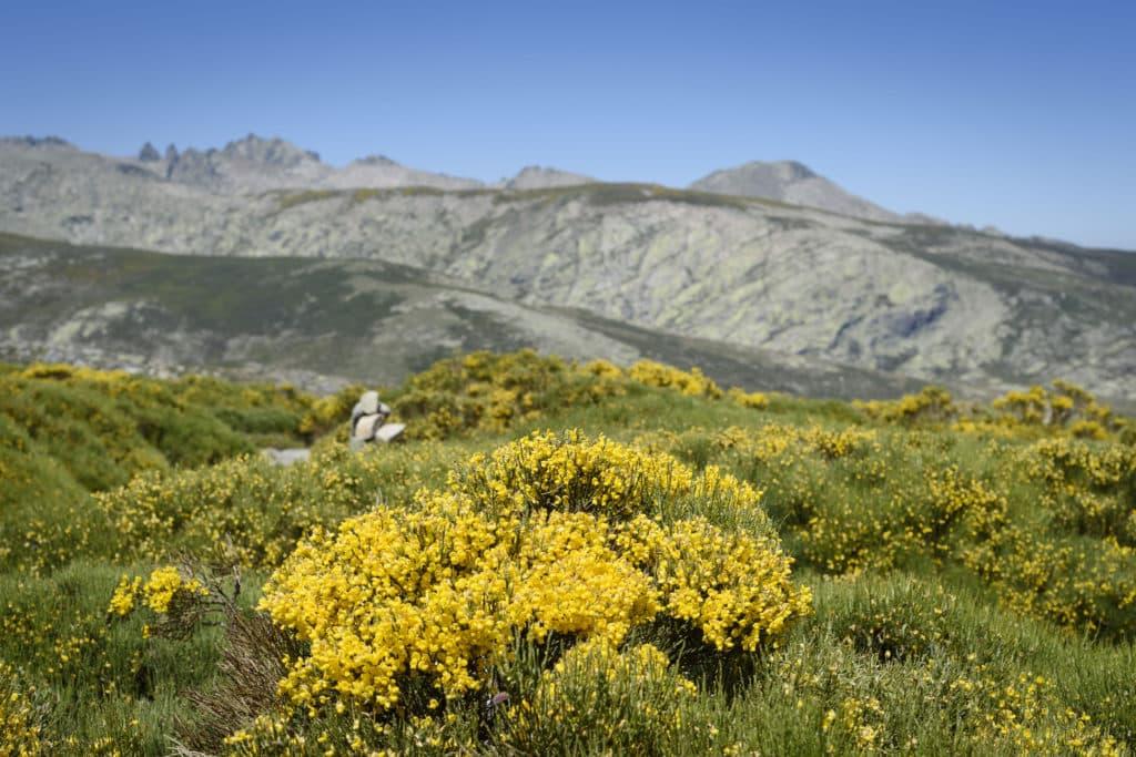 Piornos Sierra de Gredos