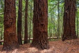 ¿Por qué hay un bosque de secuoyas en Cantabria?