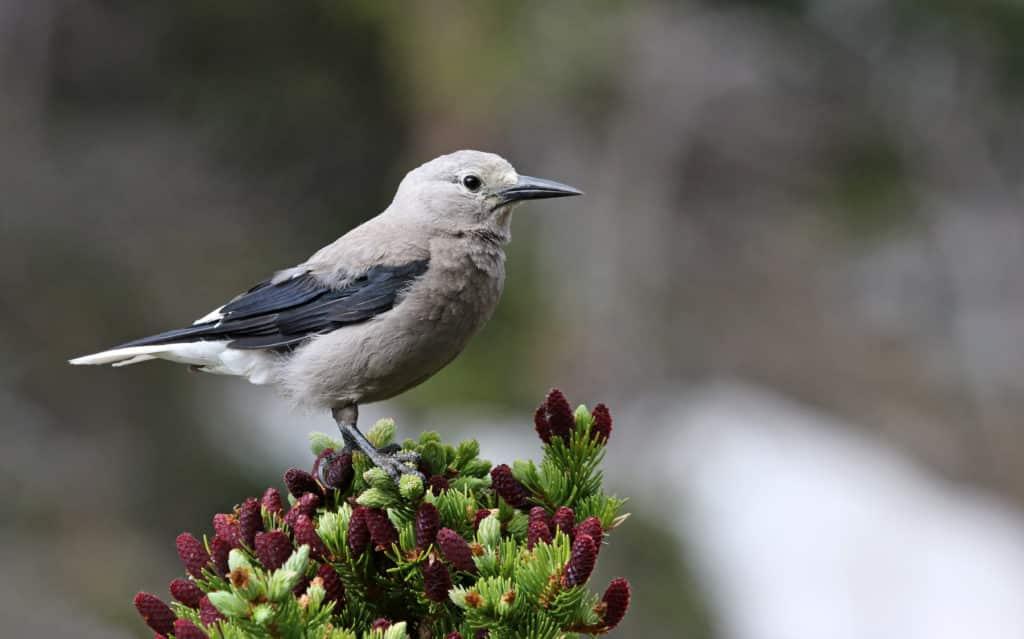 Pájaro. A Clark's Nutcracker (Nucifraga columbiana) perched on a tree branch, shot in Rocky Mountain National Park, Colorado.