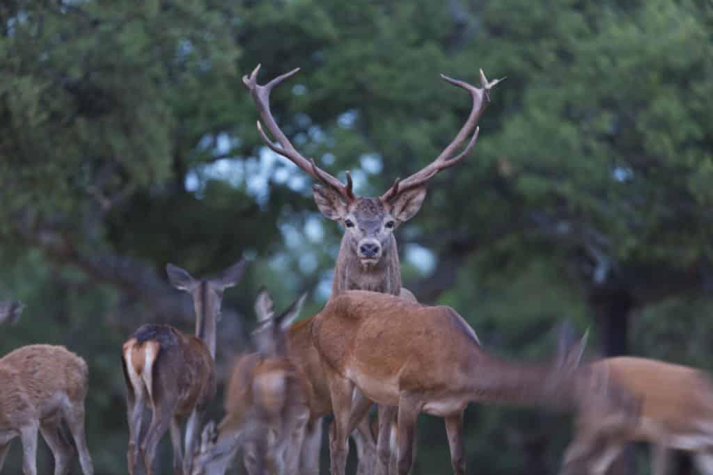 Berrea - Deer rut, Rutting period, CIERVO COMUN - RED DEER (Cervus elaphus), Cork oak forest, Mediterranean forest, Sierra de San Pedro, Cáceres, Extremadura, Spain, Europe