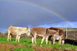 De Italia hasta Azores para salvar el burro de la isla Graciosa