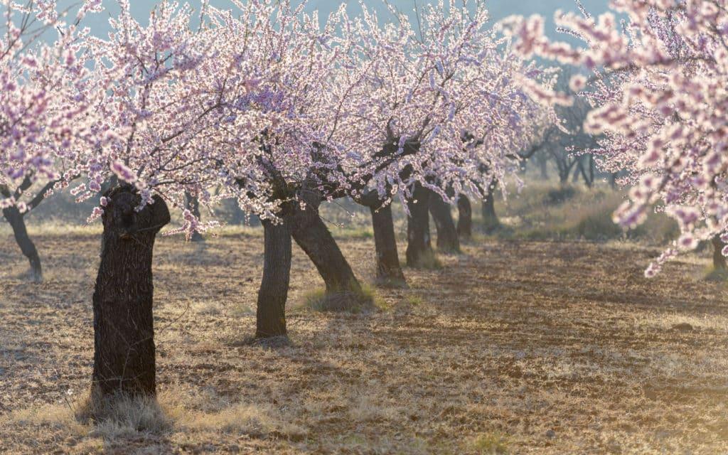 Floración en los campos de almendro cerca de la población de Torás, en la provincia de Castellón. Comunidad Valenciana. España. Europa
