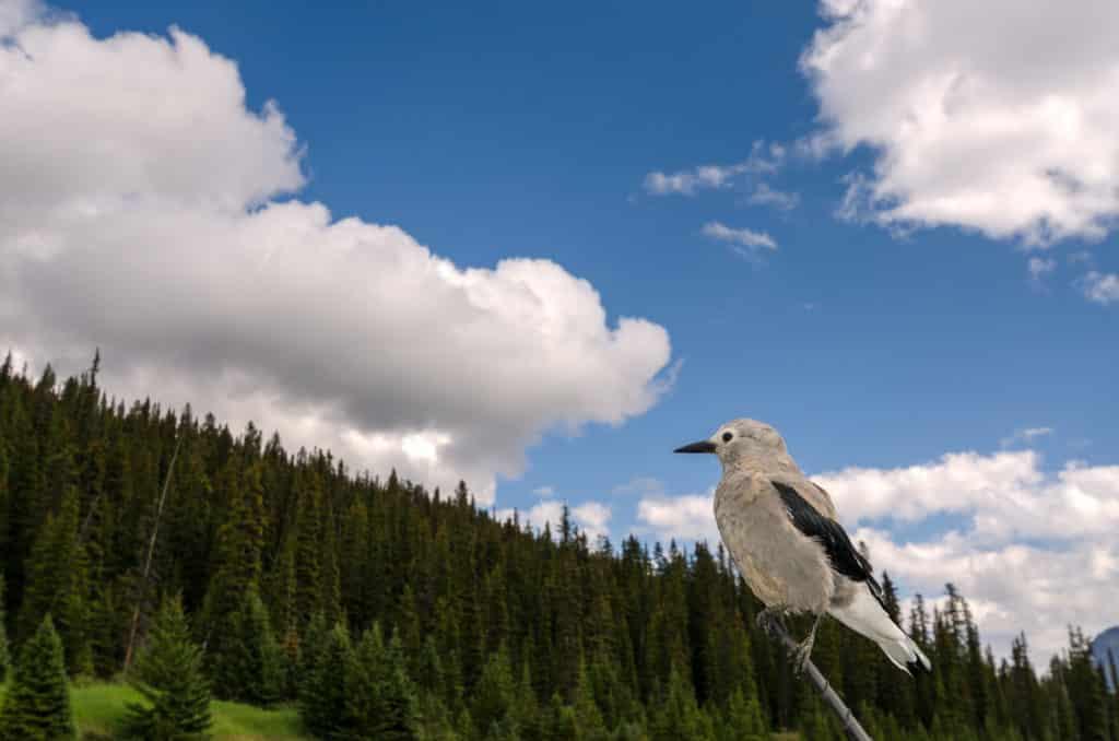 nucifraga columbiana tra le nuvole del Canada