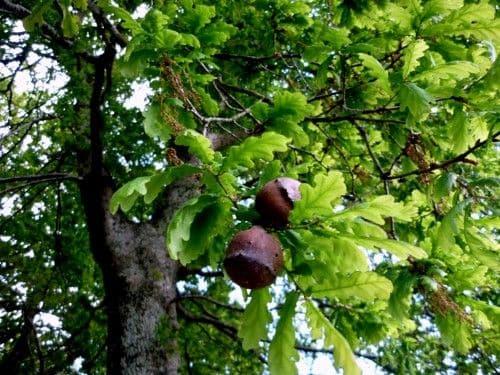 El bosque de árboles milenarios: los robledales de Ultzama y Basaburua