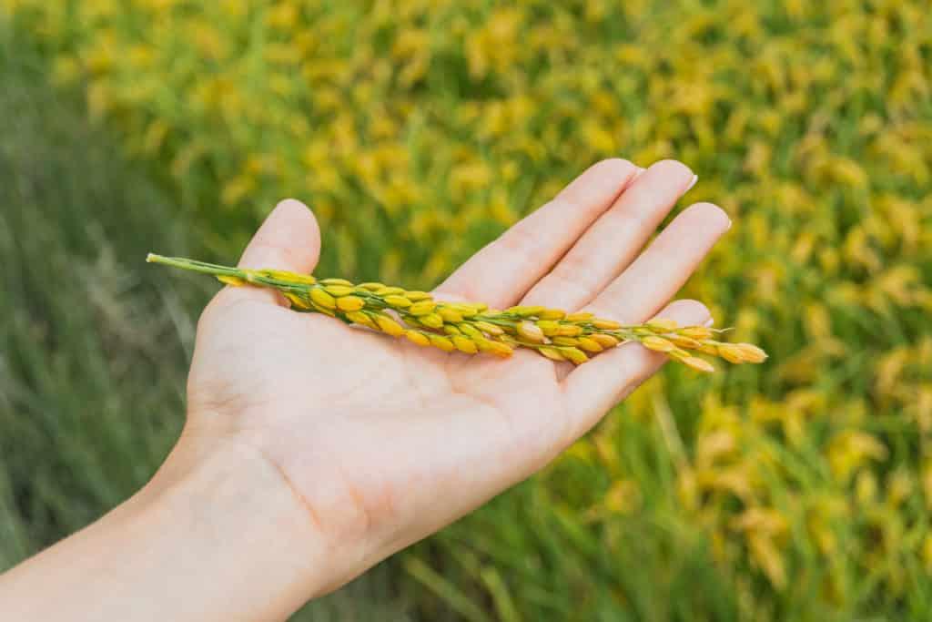 View of a woman's hand holding rice plant in Delta del Ebro, Tarragona, Catalonia